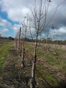 Training of lower branches began after leaf fall.