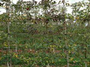 A two-dimensional canopy with very well managed vigour and branch training.
