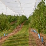 South Australia wins planning exemption for orchard netting
