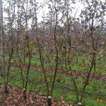 Multi-leader trees and mechanical pruning in Europe