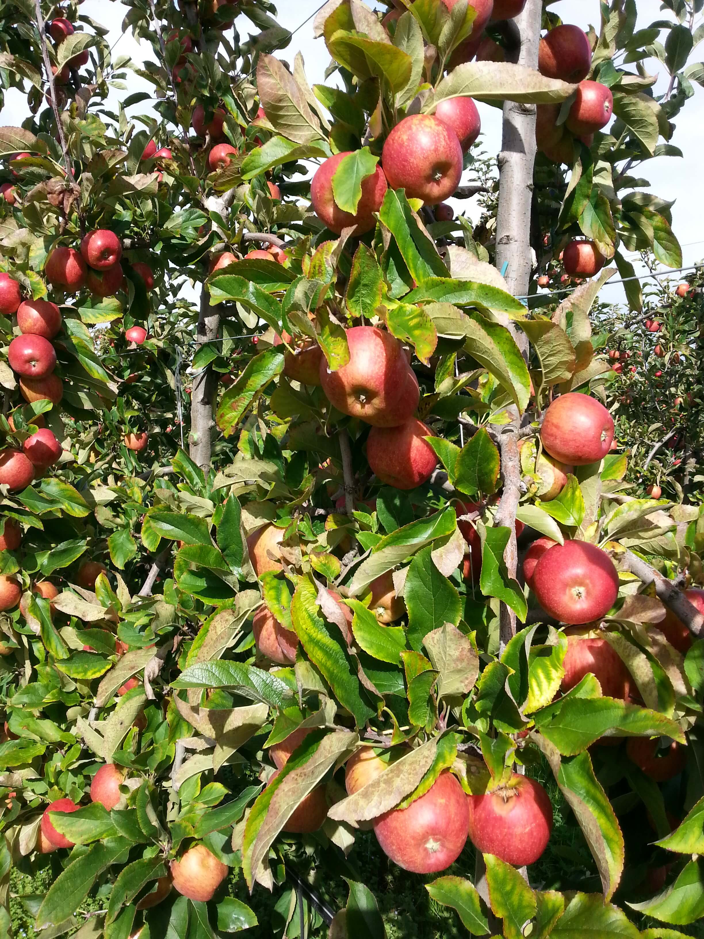How can I be sure my apples are Australian grown?