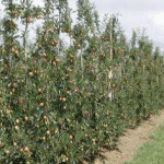 The Australian orchard of the future