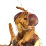 New fruit fly handbook and website