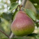 Consumers give insights into what they want in pears