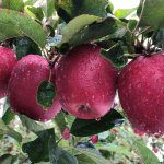 Winter management critical for fruit quality