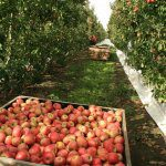 2018 National Apple and Pear Crop Estimate