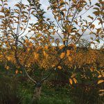 Future Orchards wrap – winter 2016