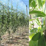 Exploring plant growth regulator use in new pears