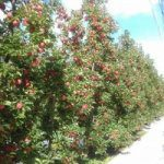 Quality over quantity as growers report volumes down