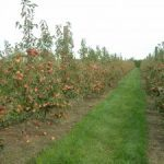 High orchard performance depends on good thinning