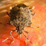 Recent detections of Brown Marmorated Stink Bug