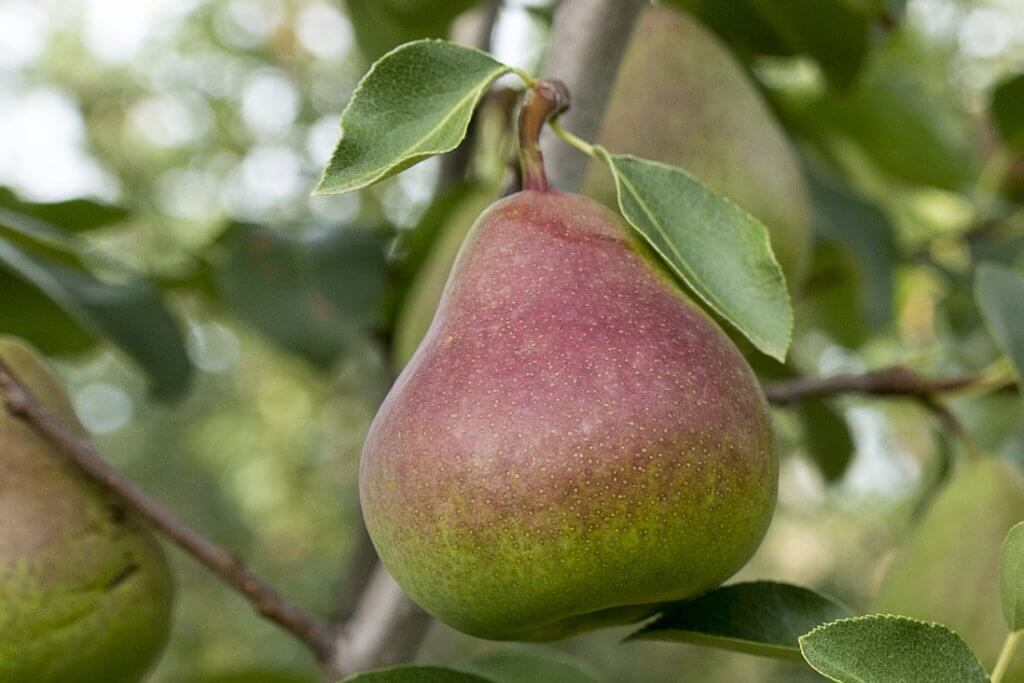 rootstocks red blush pears