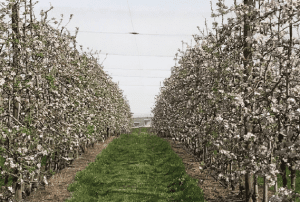 Addressing low winter chill in apples