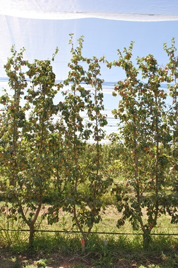 planting systems blush pears
