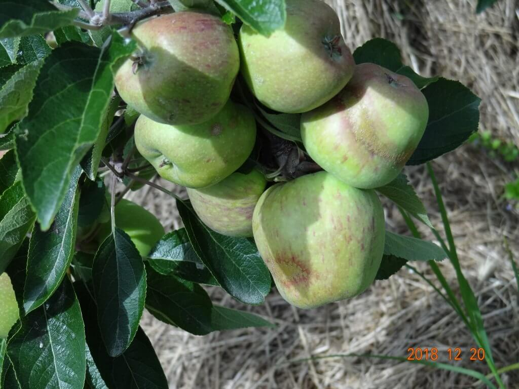 climate risks red delicious frost russet rings calyx