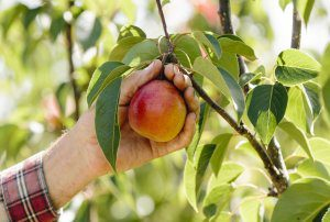 How to make pears blush: The effect of light on new pear cultivars