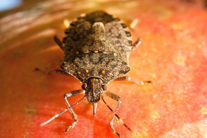 brown marmorated stink bug bmsb