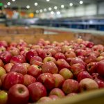 US apple imports into Australia