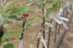 Webinar: Alternative controls for apple replant disease