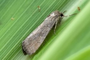 Fall armyworm – what you need to know