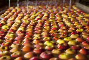 Risk assessment undertaken over the potential importation of US apples