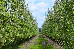 Virtual Winter Walks delivers insights to growers from comfort of their own orchards