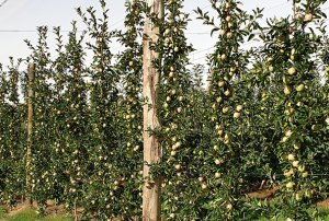 APFIP Variety Evaluation: Pears that will arrive well before the heirs
