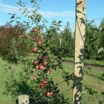 Pruning for vigour management