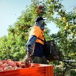 Vic-Tas boost to harvest labour but timing and cost are key