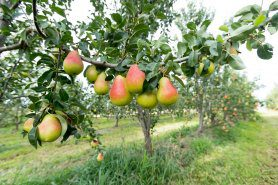 Pear Masterclass – Developments in European planting systems & rootstocks