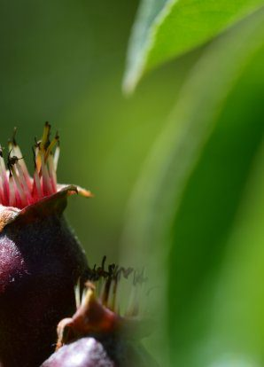 Pear Masterclass – Experiences with new pear varieties