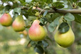 Pear Masterclass – Fertilisation in pears