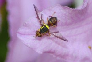 Sterile fruit flies helping to bring down QFly numbers