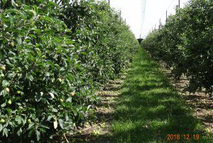PIPS 3: Advancing sustainable and technology driven apple orchard production systems