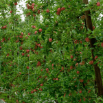 Apple and pear crop estimate 2021 – call for grower data