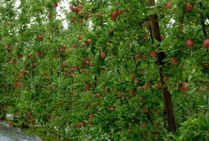 PIPS3: Strengthening Cultural and Biological Management of Pests and Diseases in Apple and Pear Orchards