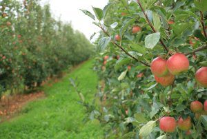 Could native plant species improve your orchard?