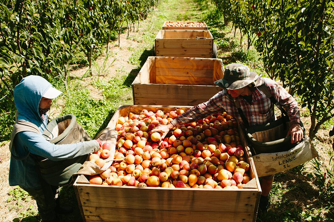 Workers picking pears