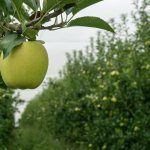 APAL's Future Orchards® kicks off with the return of almost $500,000 of levies to Hort Innovation