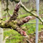 Future Orchards® – WA Demonstration Trial results
