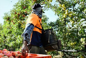 The outlook for harvest labour in 2022
