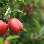 Selenium – an essential trace element for apples