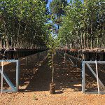 Container trees prove fruitful for orchards
