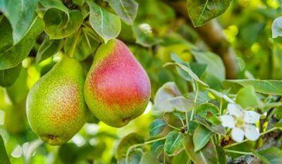 Pear Masterclass Session 2: Insights from South Africa