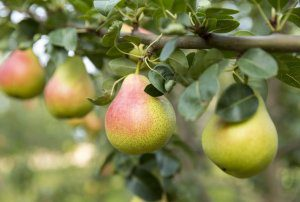 Pear Masterclass Session 1 – IPM for Pears