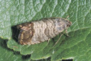 Are you prepared for Codling Moth?