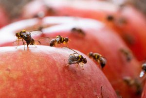 New national fruit fly research project to provide insights for horticulture