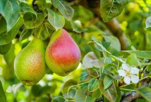 Pear-spectives from South Africa and Australia